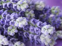 hp-lavendel