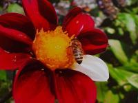 GK Blume Rot mit Biene