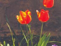 hp-tulpen